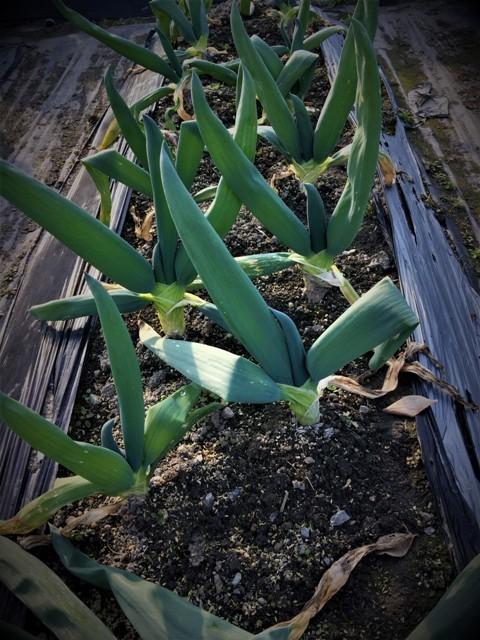 北摂の12月の家庭菜園・・その1_f0229190_13110757.jpg