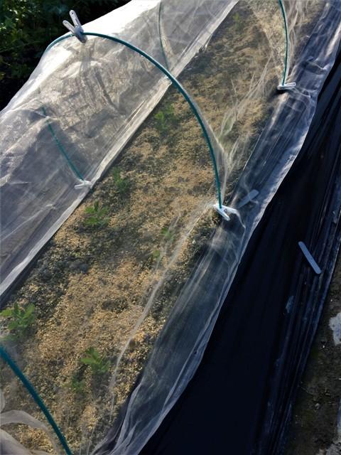 北摂の12月の家庭菜園・・その1_f0229190_13123925.jpg