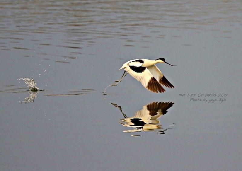 アボセット、居れば見たくなりますし、撮りたくなる鳥です。_b0346933_08245773.jpg
