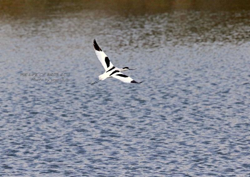 アボセット、居れば見たくなりますし、撮りたくなる鳥です。_b0346933_08251884.jpg