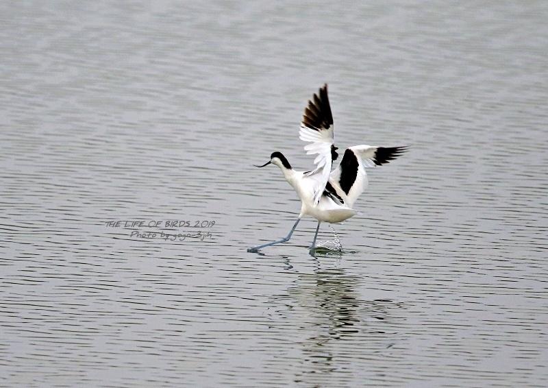 アボセット、居れば見たくなりますし、撮りたくなる鳥です。_b0346933_08252956.jpg