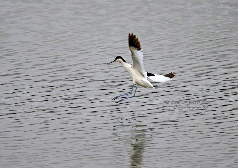 アボセット、居れば見たくなりますし、撮りたくなる鳥です。_b0346933_08253679.jpg