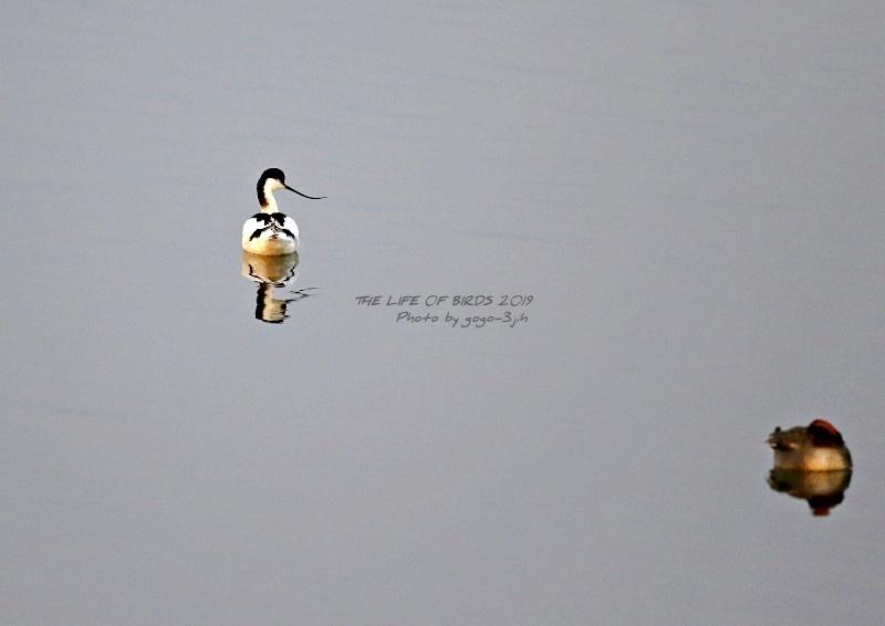 アボセット、居れば見たくなりますし、撮りたくなる鳥です。_b0346933_08254786.jpg
