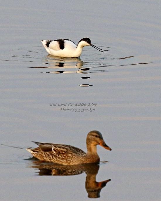 アボセット、居れば見たくなりますし、撮りたくなる鳥です。_b0346933_08255634.jpg