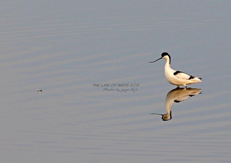 アボセット、居れば見たくなりますし、撮りたくなる鳥です。_b0346933_08260153.jpg