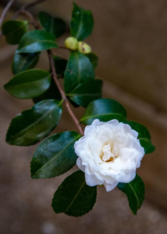 マンションの片隅に咲く山茶花_d0246136_19332617.jpg