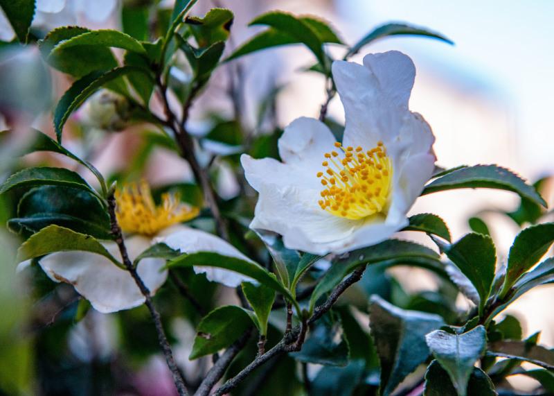 マンションの片隅に咲く山茶花_d0246136_19333629.jpg