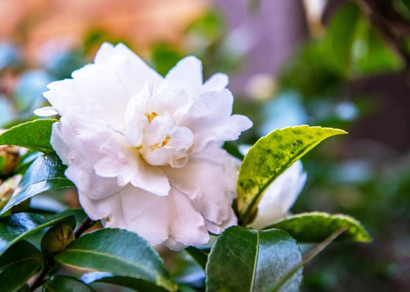 マンションの片隅に咲く山茶花_d0246136_19334653.jpg