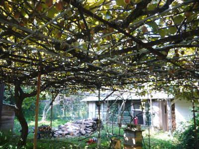 『水源キウイ』令和元年度も完売御礼!来年も無農薬、無化学肥料で大事に栽培していきます。キウイの落葉_a0254656_18115177.jpg