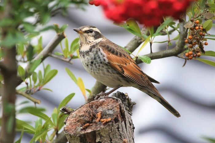 庭の野鳥達(室内より)_f0106759_5515737.jpg