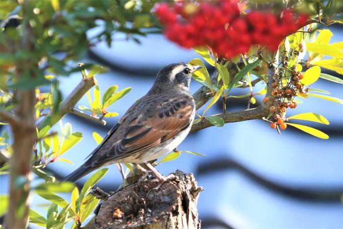 庭の野鳥達(室内より)_f0106759_5531195.jpg