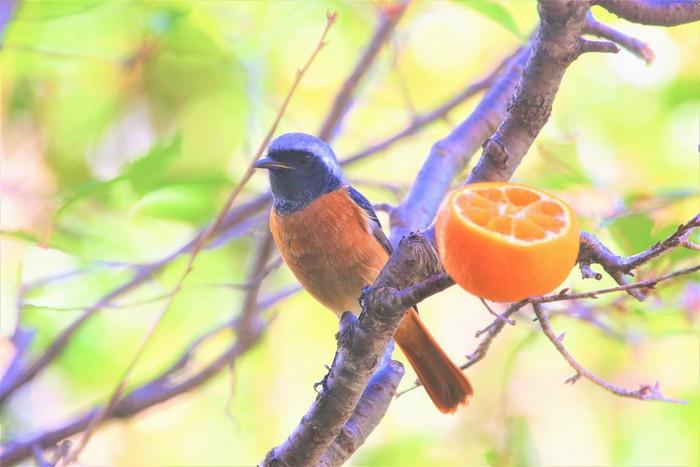 庭の野鳥達(室内より)_f0106759_5552099.jpg