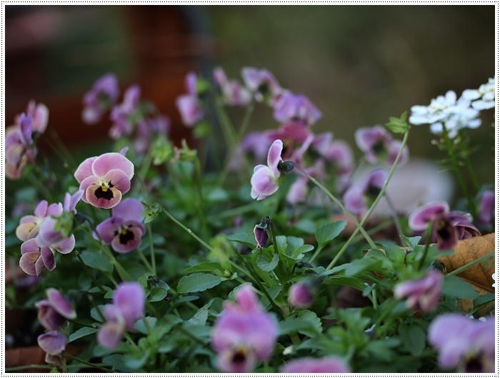 朝がぐっと冷え込んだ日は、日中は暖か~い、だから、庭でさくらと大と遊んだよ\(>∀<)/_b0175688_19440489.jpg