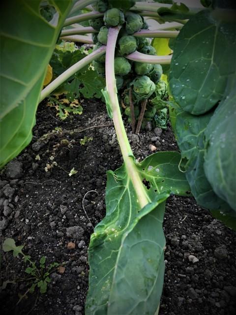 北摂の12月の家庭菜園・・その2_f0229190_20114210.jpg