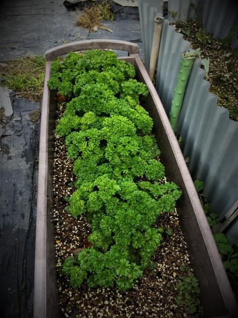 北摂の12月の家庭菜園・・その2_f0229190_20122312.jpg