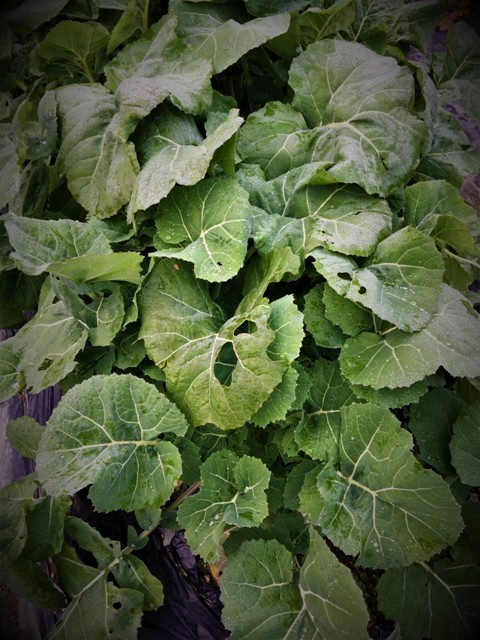 北摂の12月の家庭菜園・・その3_f0229190_20282995.jpg