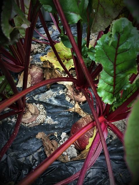 北摂の12月の家庭菜園・・その3_f0229190_20290607.jpg