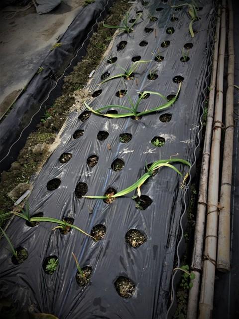 北摂の12月の家庭菜園・・その3_f0229190_20333149.jpg