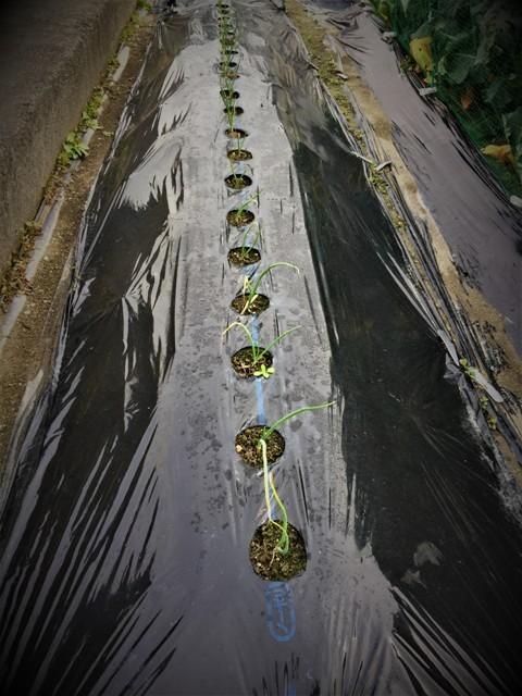 北摂の12月の家庭菜園・・その3_f0229190_20364196.jpg