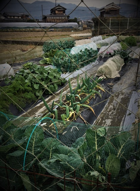 北摂の12月の家庭菜園・・その3_f0229190_20374604.jpg