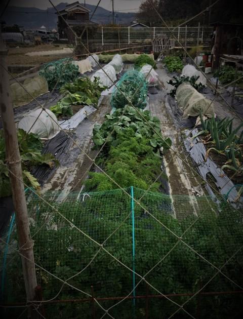 北摂の12月の家庭菜園・・その3_f0229190_20380834.jpg