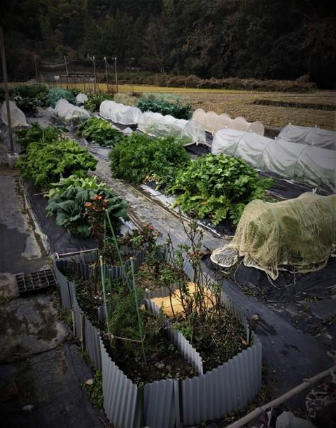 北摂の12月の家庭菜園・・その3_f0229190_20383021.jpg