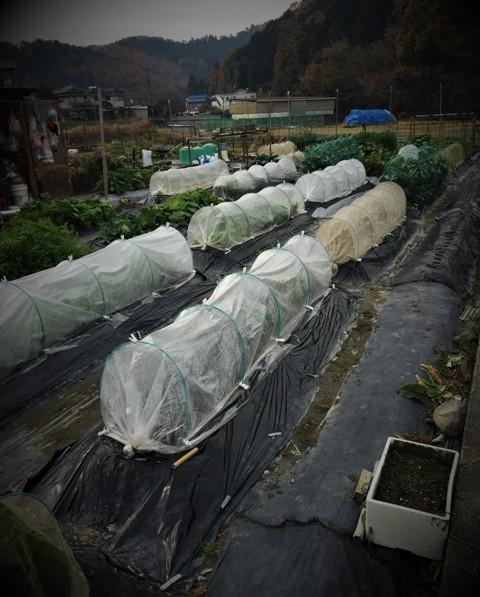 北摂の12月の家庭菜園・・その3_f0229190_20385001.jpg