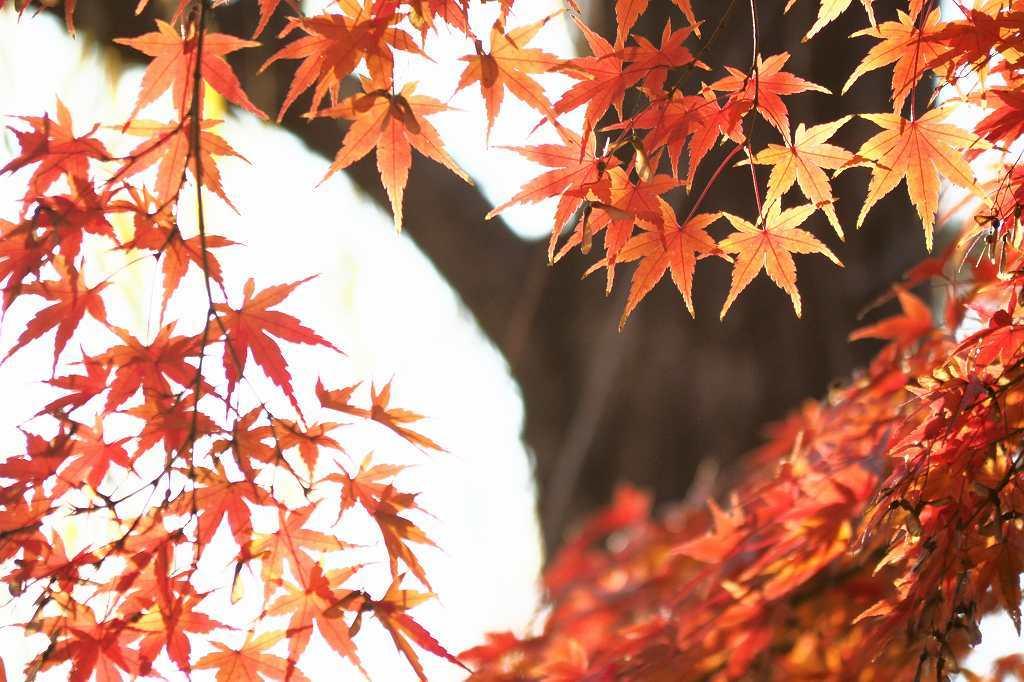 向島百花園の紅葉_e0348392_22153363.jpg