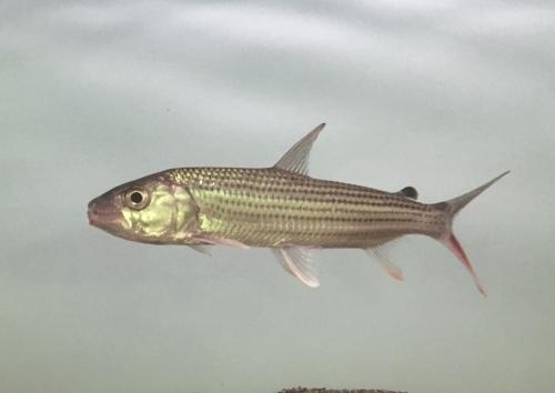 2019年12月14日更新の熱帯魚最新入荷情報!_b0141806_04022093.jpeg