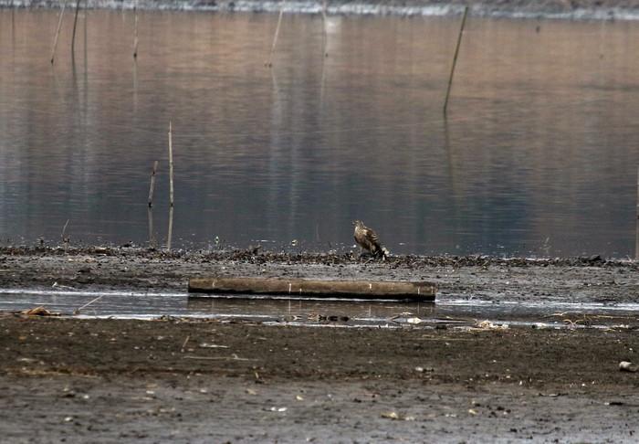 MFの沼は猛禽デーでした_f0239515_17112267.jpg