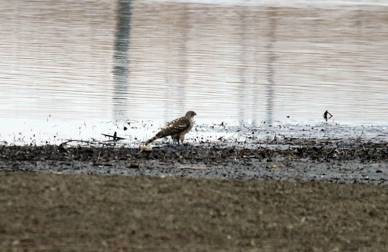 MFの沼は猛禽デーでした_f0239515_1713770.jpg