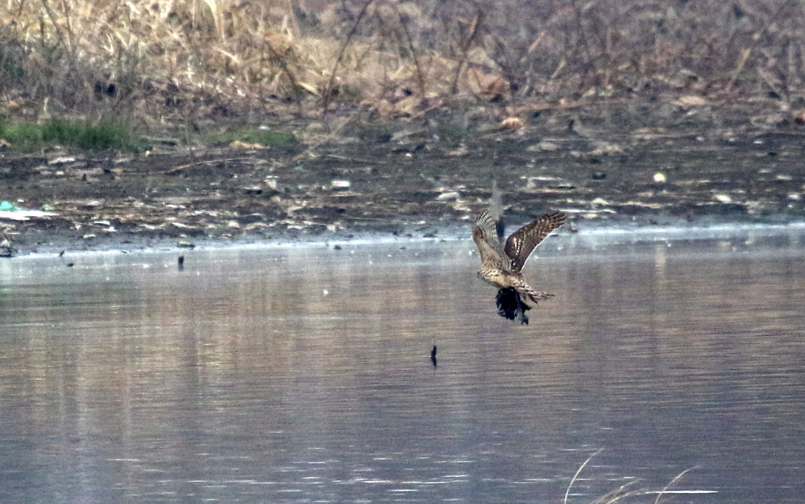 MFの沼は猛禽デーでした_f0239515_1714377.jpg