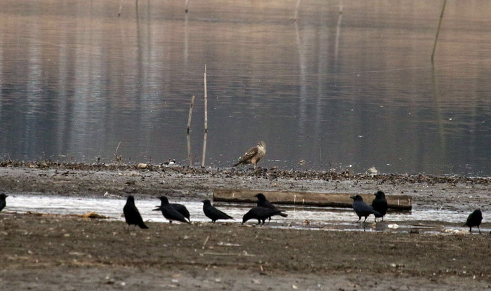 MFの沼は猛禽デーでした_f0239515_1724310.jpg