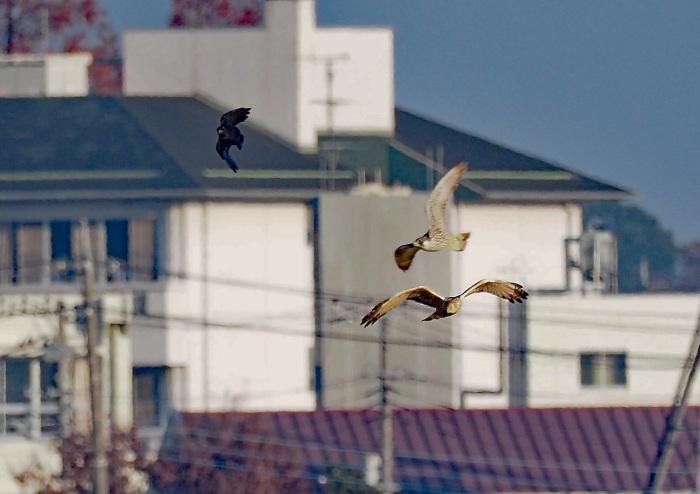 鳥友Kaga氏の特許を借用 チュウヒとハヤブサのバトル_d0290240_14520160.jpg