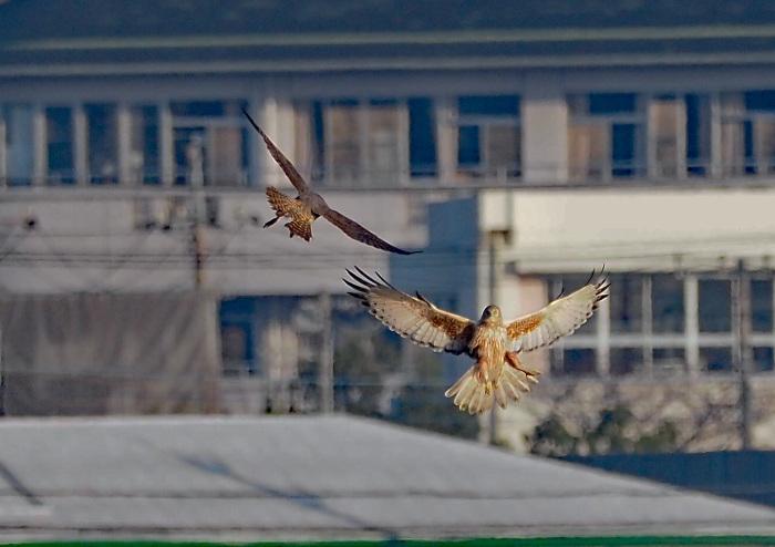 鳥友Kaga氏の特許を借用 チュウヒとハヤブサのバトル_d0290240_16045870.jpg
