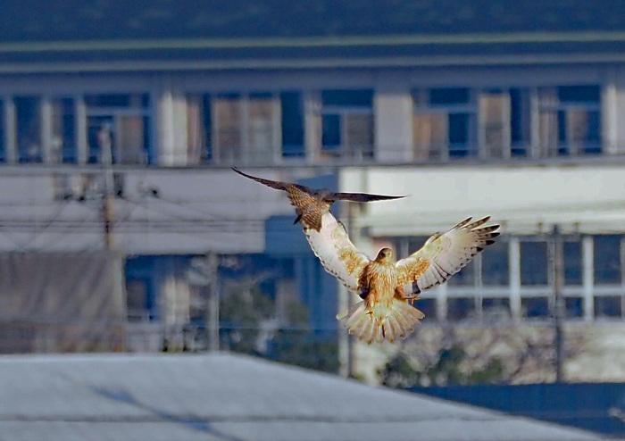 鳥友Kaga氏の特許を借用 チュウヒとハヤブサのバトル_d0290240_16051353.jpg