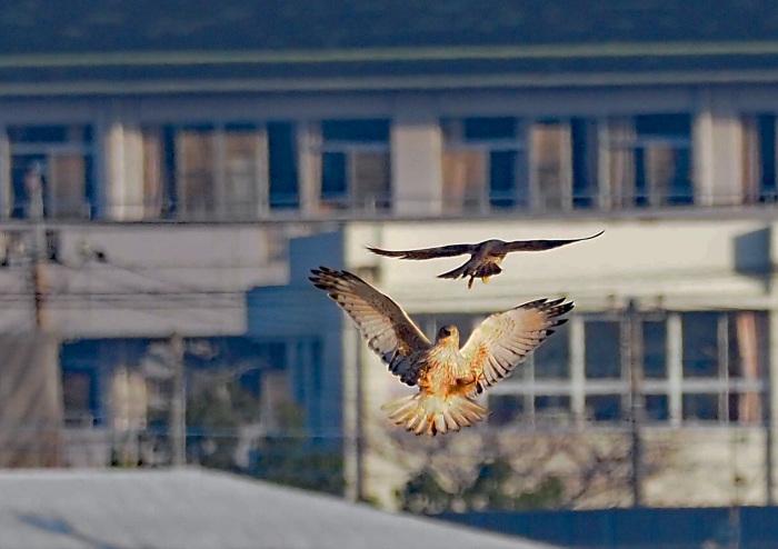 鳥友Kaga氏の特許を借用 チュウヒとハヤブサのバトル_d0290240_16053157.jpg