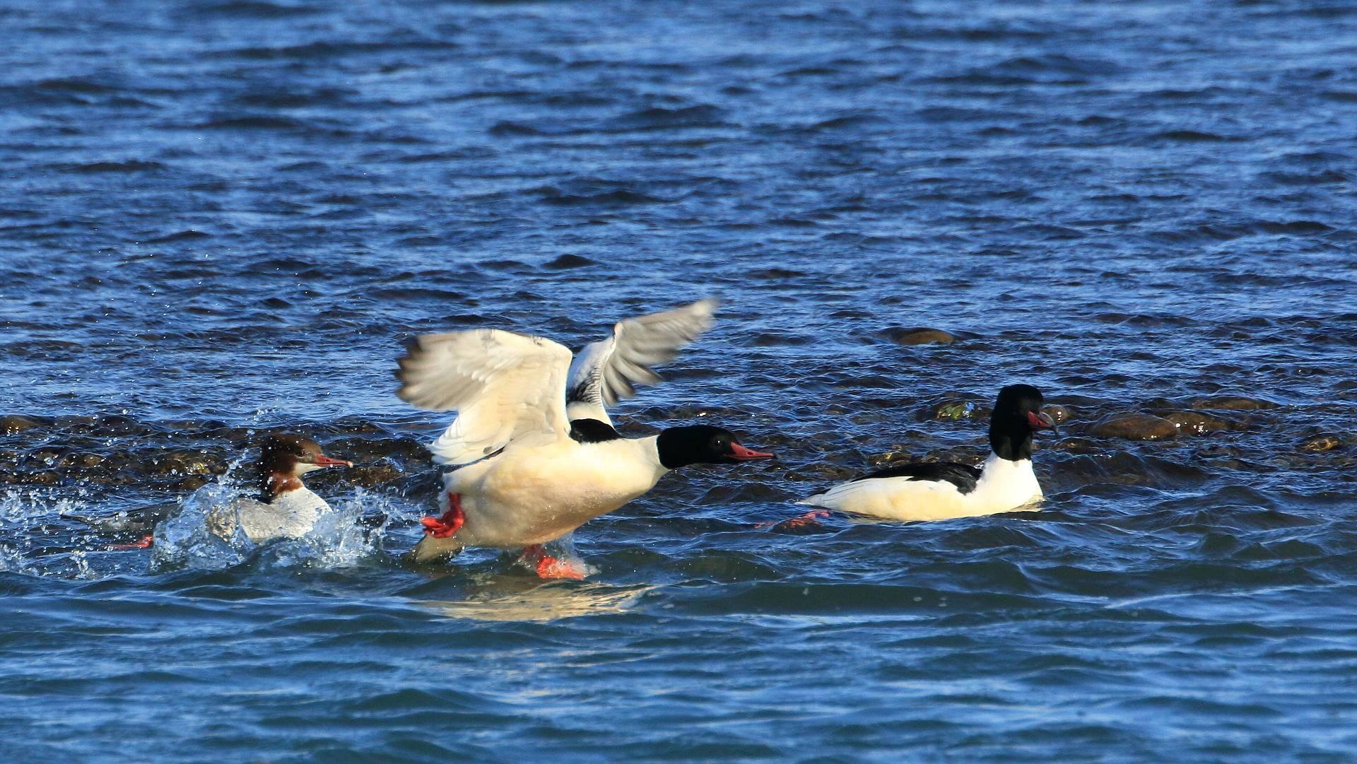 カワアイサの群れは14羽に増えてました!_f0105570_16532852.jpg