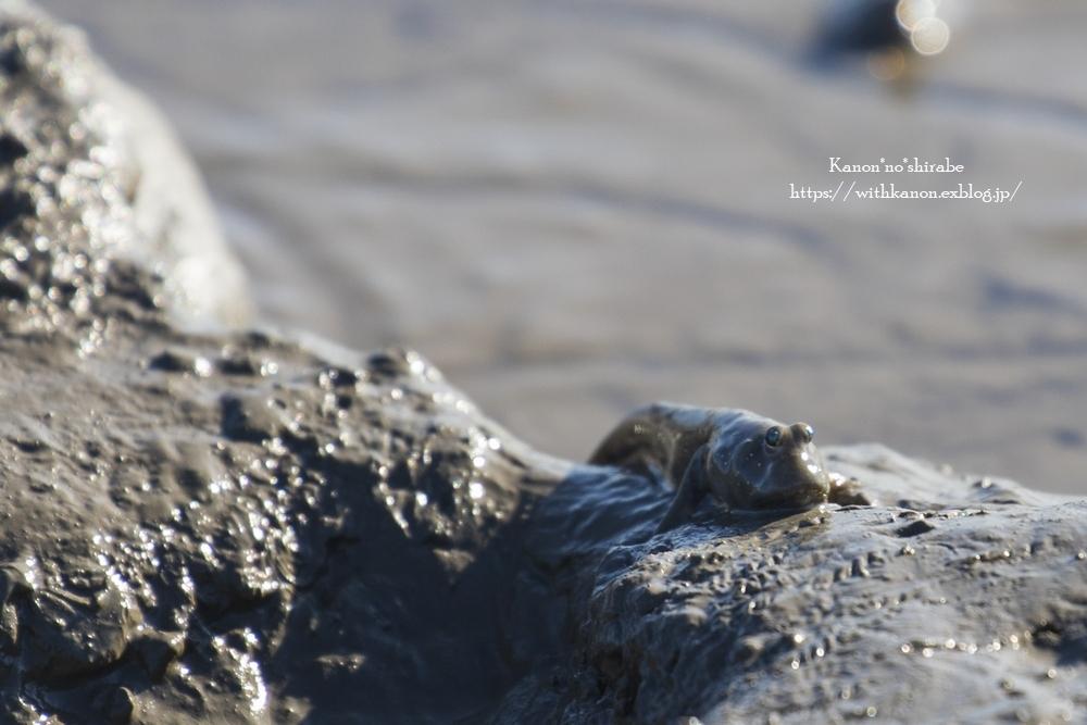 干潟に生きる生き物たち_d0148187_18545882.jpg