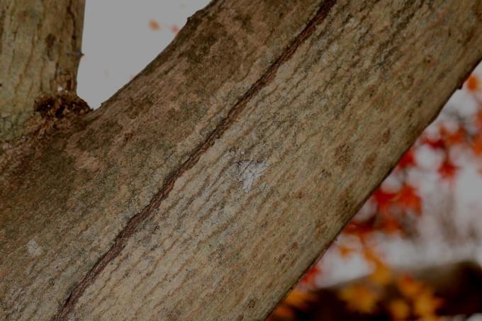 埼玉中部    クロオビフユナミシャク2019/12/13_d0251807_08035768.jpg