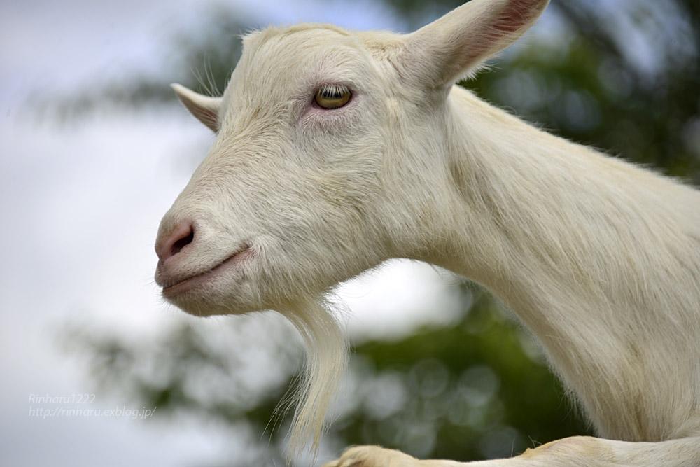 2019.7.13 東北サファリパーク☆ヤギのガンバくんとショコラちゃん【Goat】_f0250322_1531221.jpg