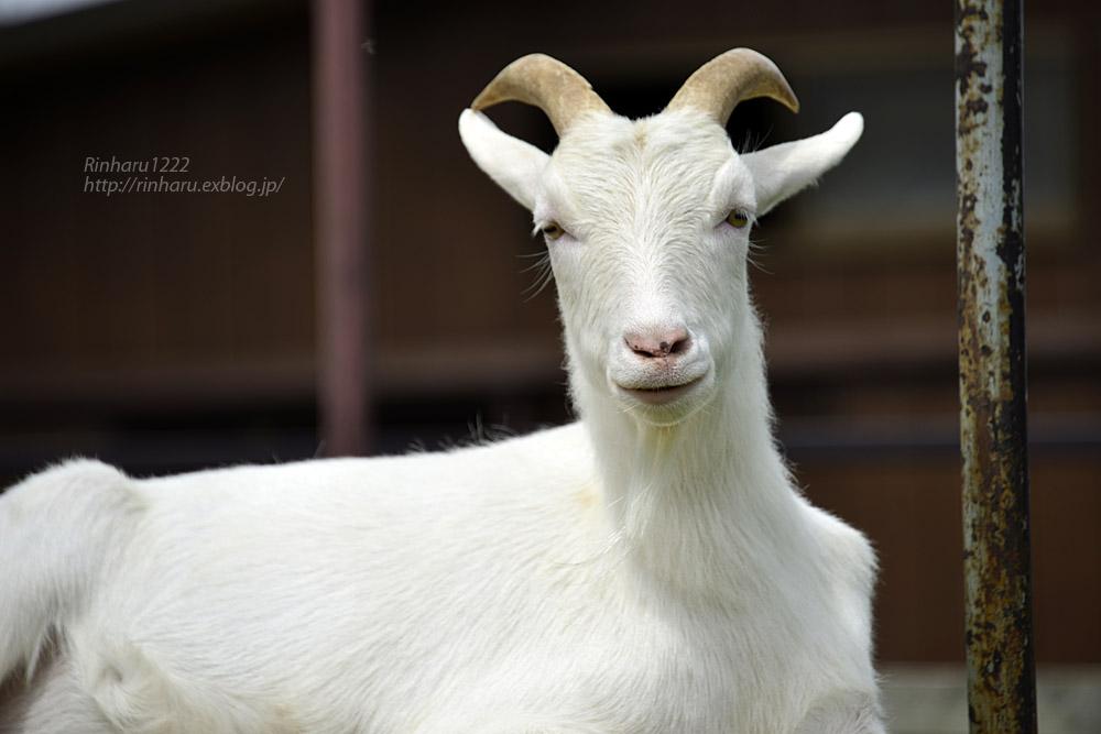 2019.7.13 東北サファリパーク☆ヤギのガンバくんとショコラちゃん【Goat】_f0250322_15313085.jpg