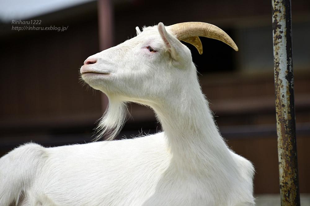 2019.7.13 東北サファリパーク☆ヤギのガンバくんとショコラちゃん【Goat】_f0250322_15313742.jpg