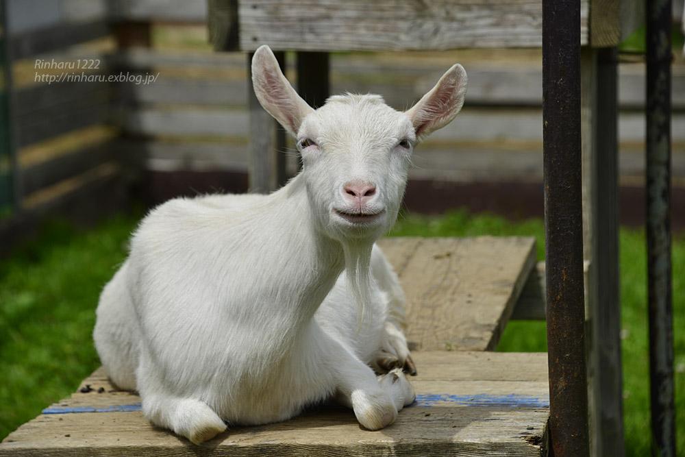 2019.7.13 東北サファリパーク☆ヤギのガンバくんとショコラちゃん【Goat】_f0250322_15321117.jpg