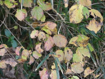 秋の実その後、冬の葉色_a0123836_17013573.jpg