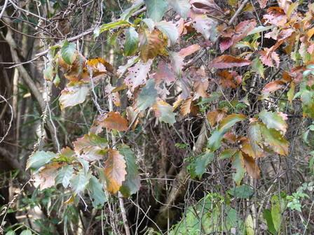 秋の実その後、冬の葉色_a0123836_17013627.jpg