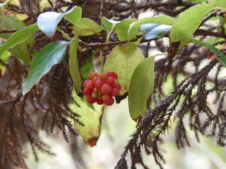 秋の実その後、冬の葉色_a0123836_17013691.jpg