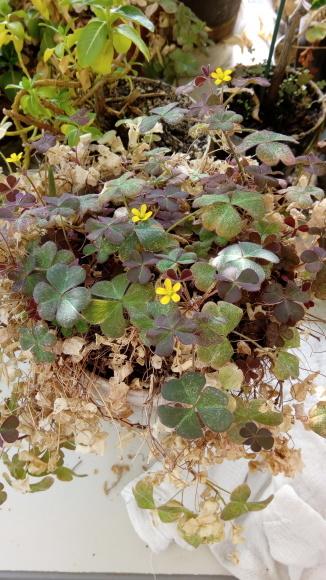 三つ葉の花か_b0217741_20442105.jpg