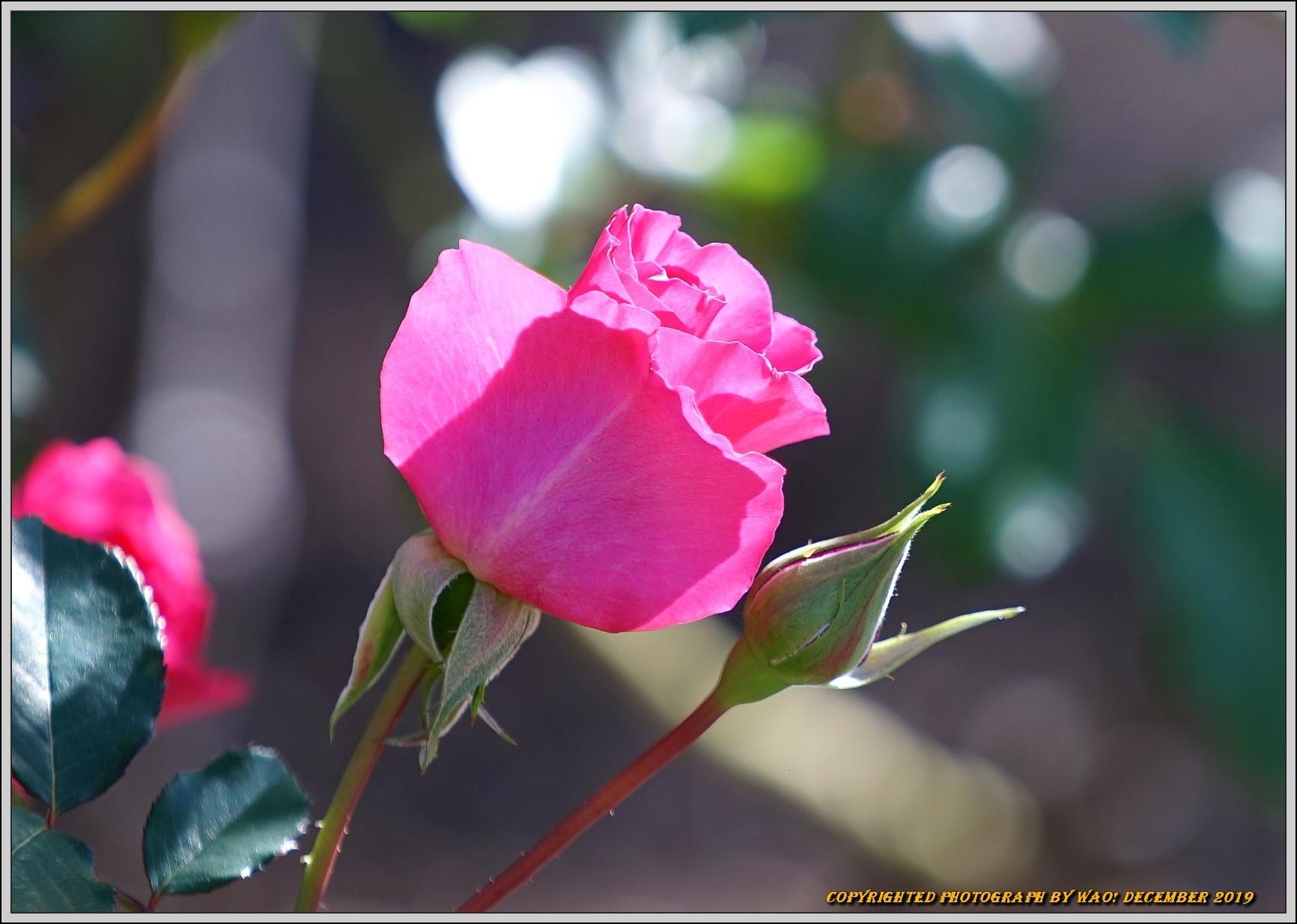 薔薇と山茱萸の実_c0198669_18054848.jpg