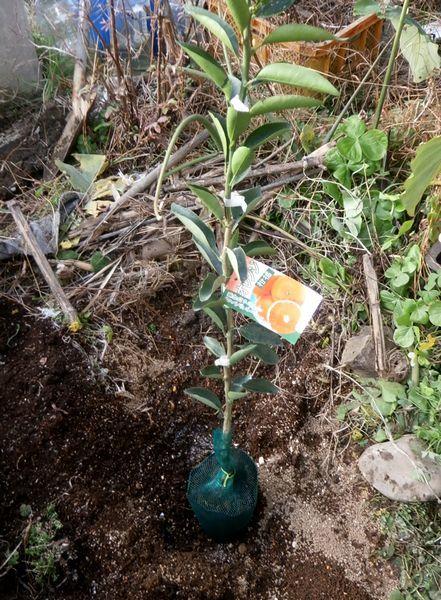あま~い柑橘「あすみ」の植え付け_f0018078_16592467.jpg